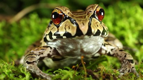 smoky jungle frog (Leptodactylus pentadactylus). A sub-adult in the Ecuadorian Amazon