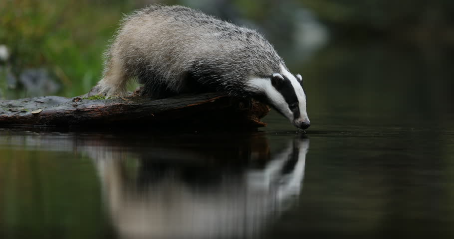 Badger drinking in green forest, animal in nature habitat, Germany, central Europe. Wildlife scene from nature. Animal in wood. Cute black white grey mammal feeding blueberry, badger behaviour.