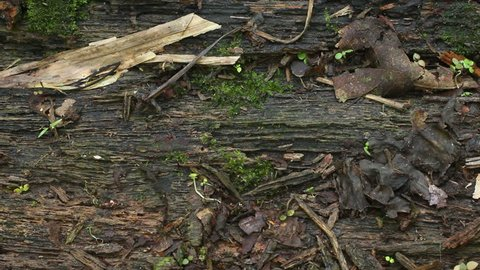 Speckled Worm Lizard (Amphisbaena fuliginosa) crawls through frame. In the Ecuadorian Amazon.