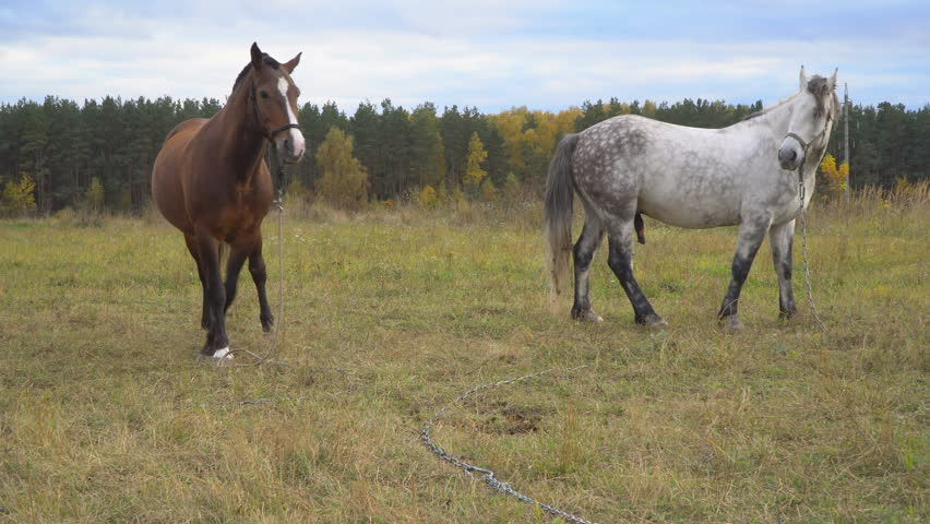 Love game and courtship between  two horses on the autumn meadow  | Shutterstock HD Video #31755496