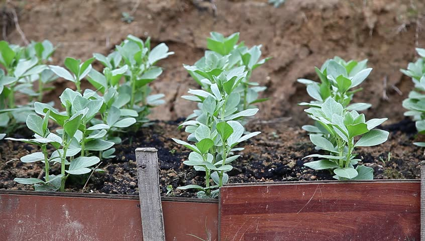 broad bean sapling in the garden
