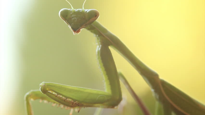 Close up HD video of a subadult Praying Mantis (Chinese Mantis, Tenodera sinensis).