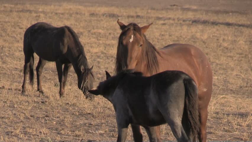 Wild Horses (mustangs) in the Utah Desert | Shutterstock HD Video #31845592