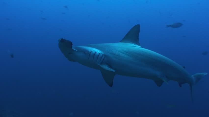 Hammerhead Sharks | Shutterstock HD Video #31855633