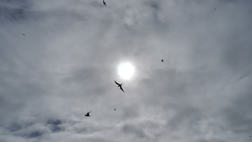 Arctic tern kria birds flying silhouetted by sun, swooping close to camera, slow motion
