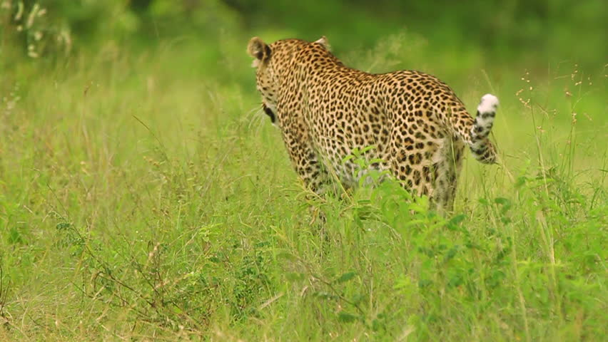 Male leopard (Panthera pardus) walking away. This leopard is wild and filmed on location in Kruger National Park with no interference from our film crew, contact us for a copy of the film permit.   Shutterstock HD Video #3187825