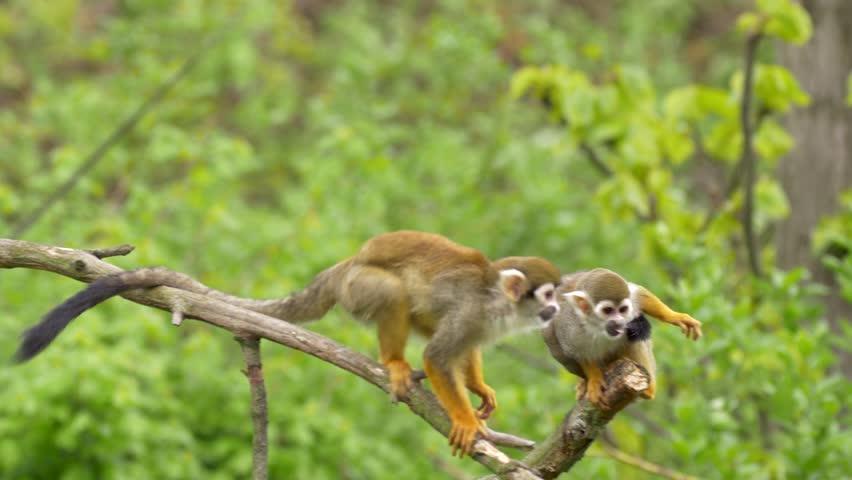 Common squirrel monkey (Saimiri sciureus)