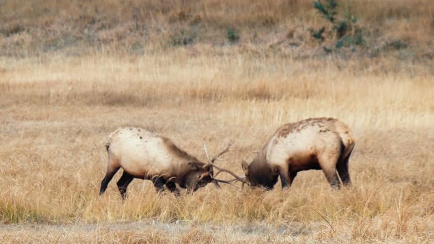 Wild elk fighting