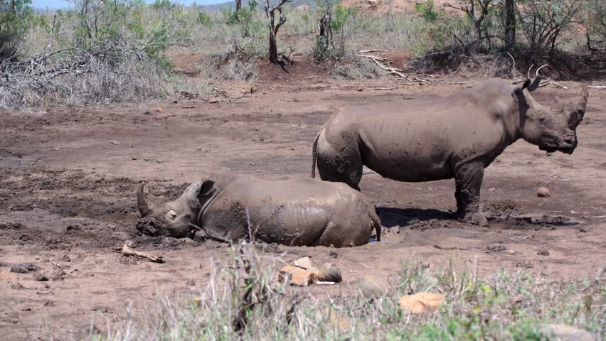 Rhino family runs-away from a dry waterpool in hluhluwe imfolozi