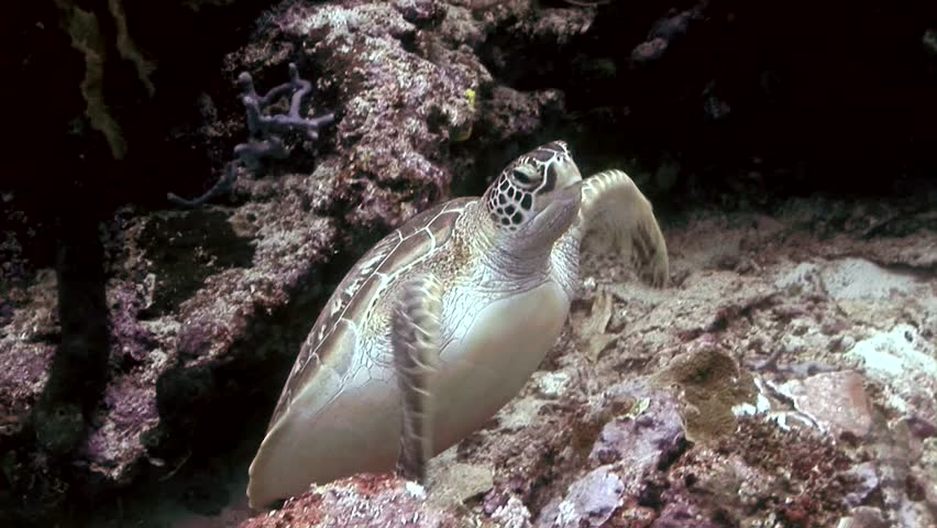 turtle swimming to camera scuba diving high definition