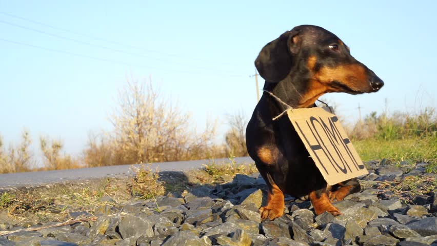 """Homeless dog Dachshund breed, black and tan, sits with a cardboard """"house"""" sign on the street on the road, a sad look   Shutterstock HD Video #32042206"""
