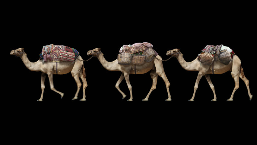 Camel train on a clean background. Isolated caravan from a camel with different goods. Animation contains an alpha channel.