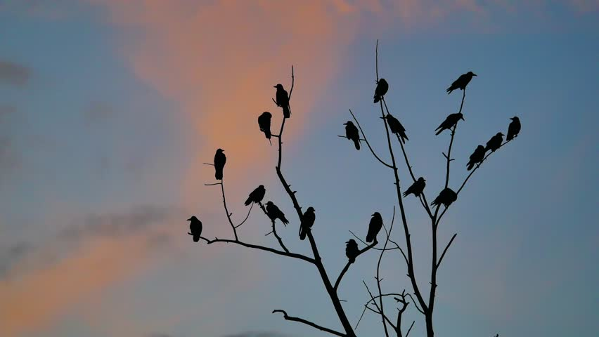 Flock of raven birds autumn sitting on a tree dry branches of trees orange sunset silhouette.    Shutterstock HD Video #32098663