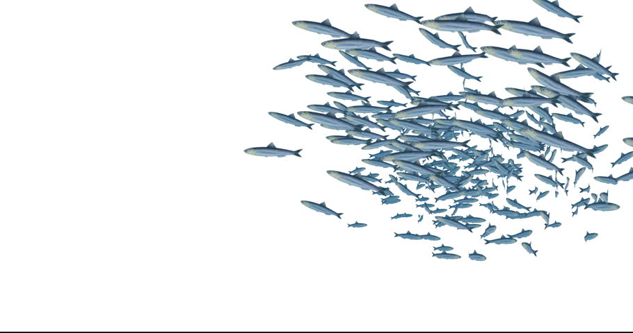 A school of fish – about 300 anchovies – swimming over a white background. Includes luma matte for easier compositing.