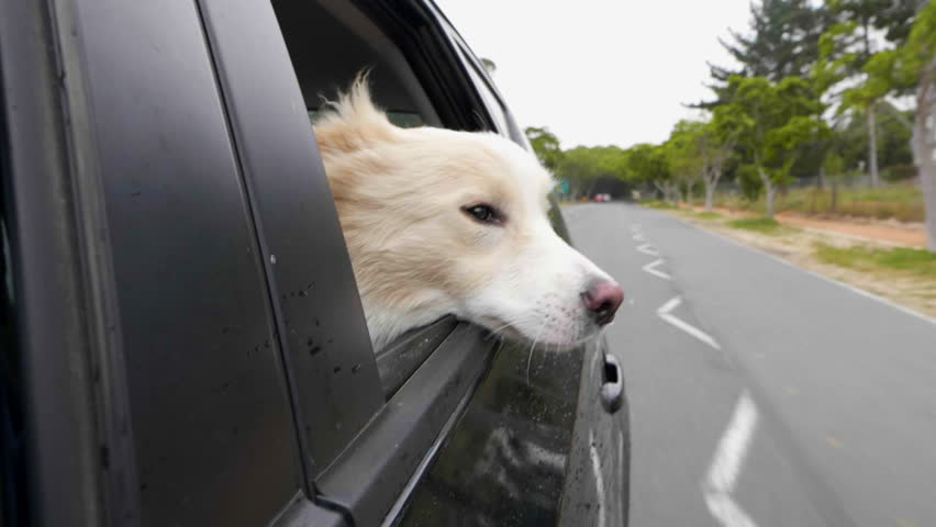 border collie face out of the window with wind blowing fur in slow motion #32128852