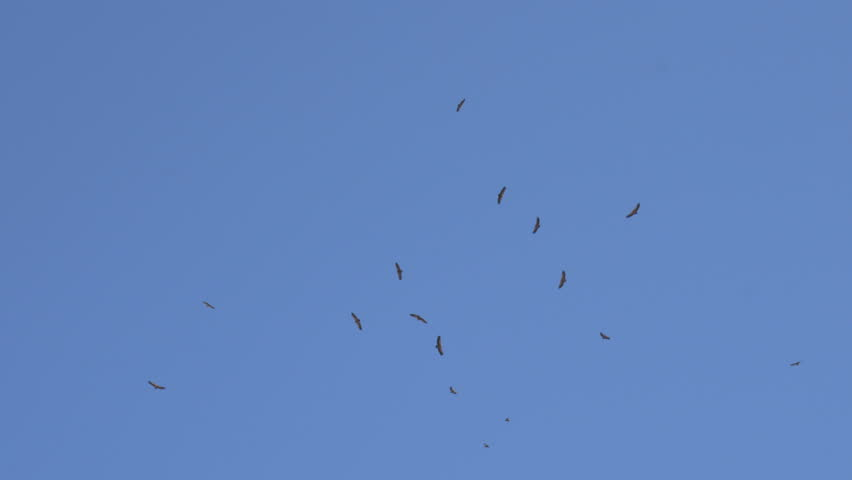 A flock of soaring desert eagles