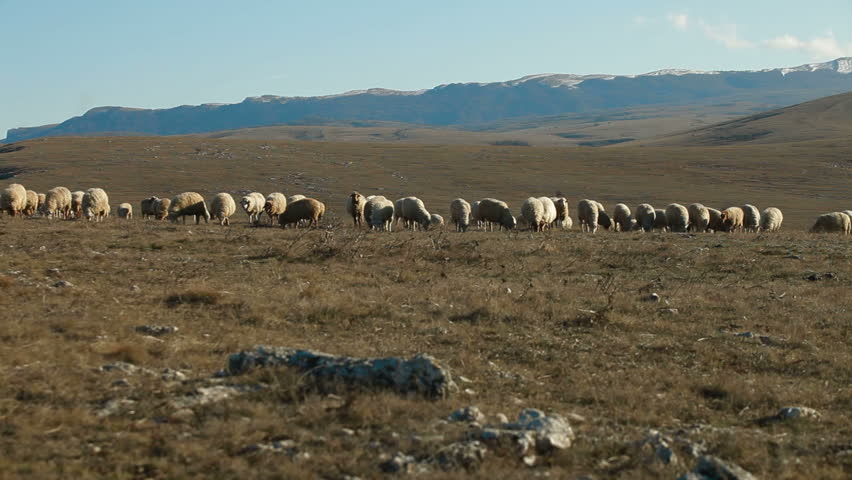 Sheeps Grazing On a Crimean Mountain Plateau