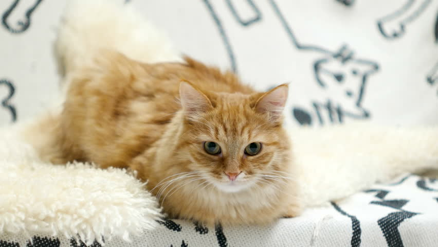 Cute ginger cat lying in bed. Fluffy curious pet on cozy home background. | Shutterstock HD Video #32148901