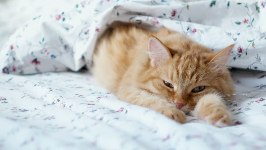 Cute ginger cat lying in bed. Fluffy pet comfortably settled to sleep under blanket. Cozy home background with funny pet. | Shutterstock HD Video #32148904