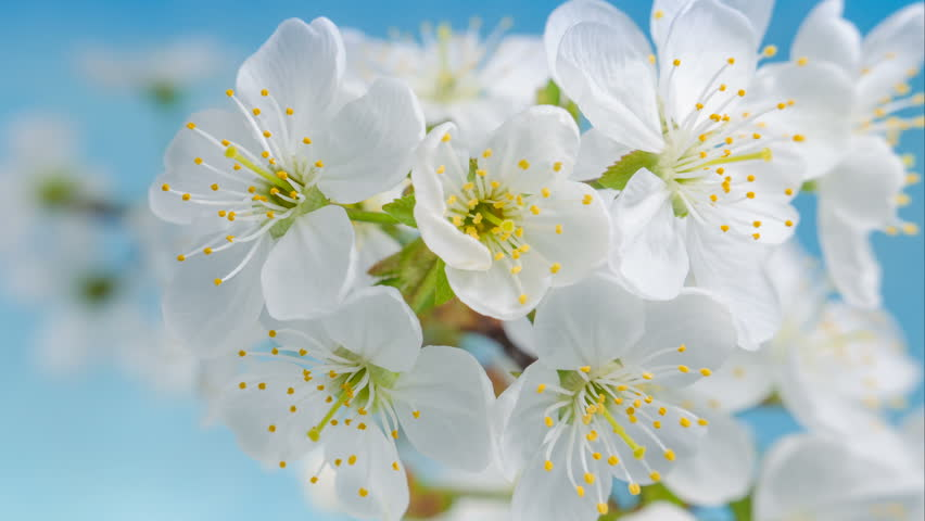 Flowers Cherry flowering. White flower sakura. Timelapse. Tree flowering. Nature. #32171149