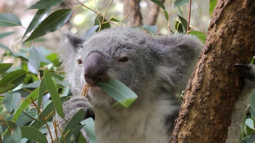 A Koala chewing Eucalyptus leaves. Close-up shot.