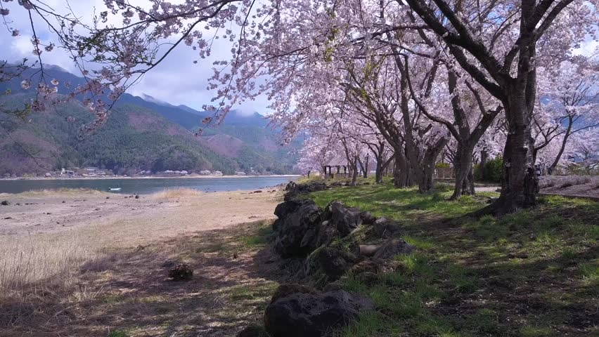 Japanese Cherry Blossoms At Kawaguchi Lake, 4K Footage  | Shutterstock HD Video #32195245
