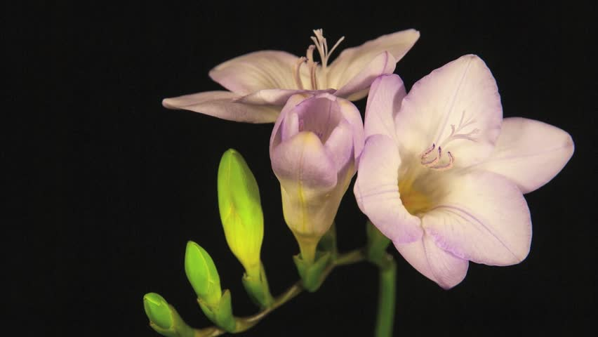 Pink Freesia Flowers Blooming on Black Background Time Lapse