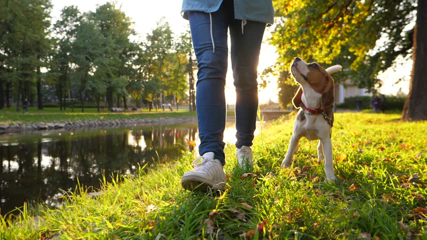 Cute young beagle dog walk with owner at sunny evening, slow motion dolly shot. Doggy run forward, then stop to sniff grass and come again, look up to woman. Beautiful bright sun light shine behind