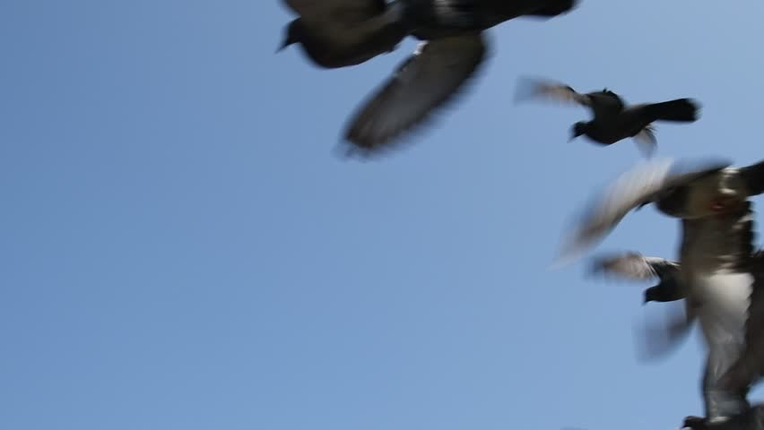 Pigeons flying in the blue sky, Slow motion.