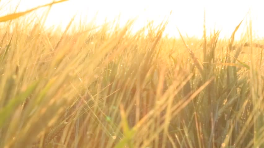 Wheat and sunset. Footage. Close up of ripe wheat ears. Beautiful backdrop of ripening ears of golden field. Nature background and blurred bokeh. Agriculture scene of sun setting over the yellow | Shutterstock HD Video #32291731