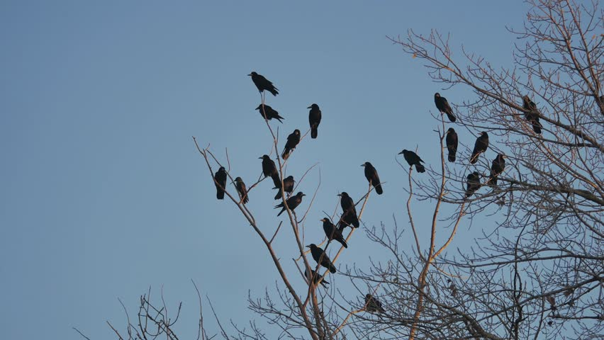 Flock of raven birds sitting on a tree dry branches autumn of trees. crows birds flock   Shutterstock HD Video #32303923