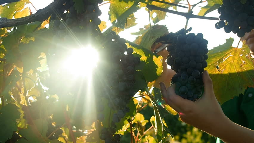 Grapes Wineries.  Picking Red Wine Grapes During Harvest In Italy. Ripe Vineyard Grapes. Grapes In The Vineyard In Tuscany, Italy.