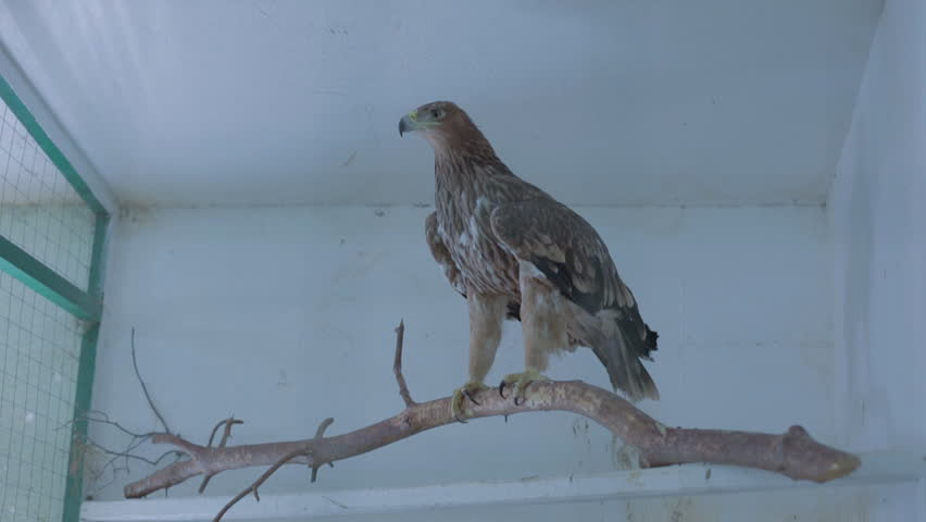 the eagle in the aviary sits on a branch