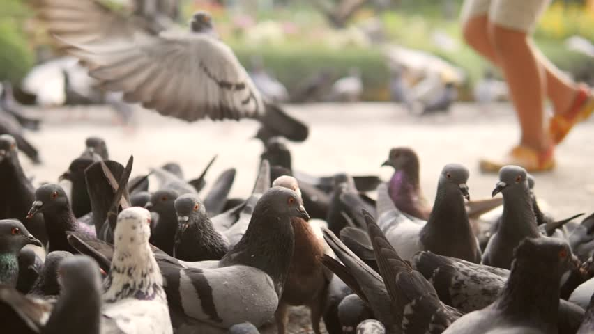 Running Boy Frighten Pigeons and they Fly Away in City Park. Closeup HD Slowmotion 180p.