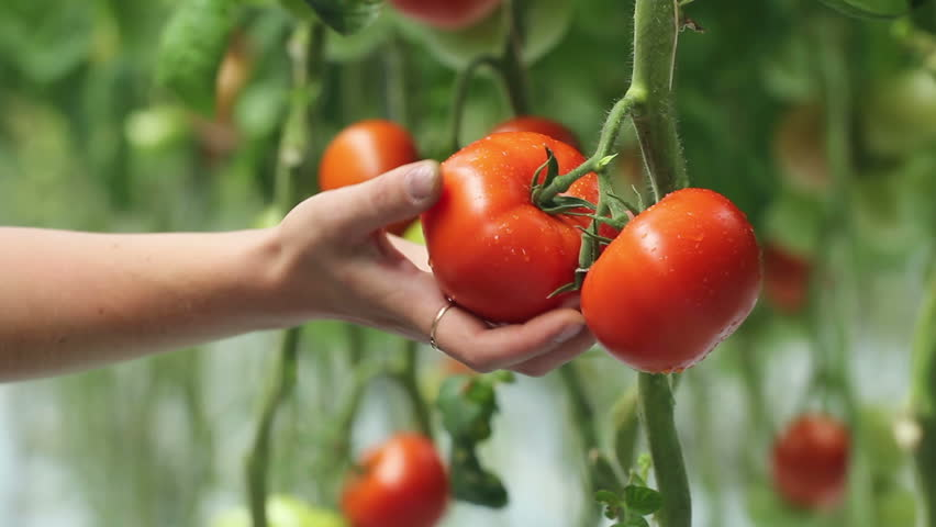 Young Woman Collect Red Mellow Tomatoes. Harvesting  In The Greenhouse.