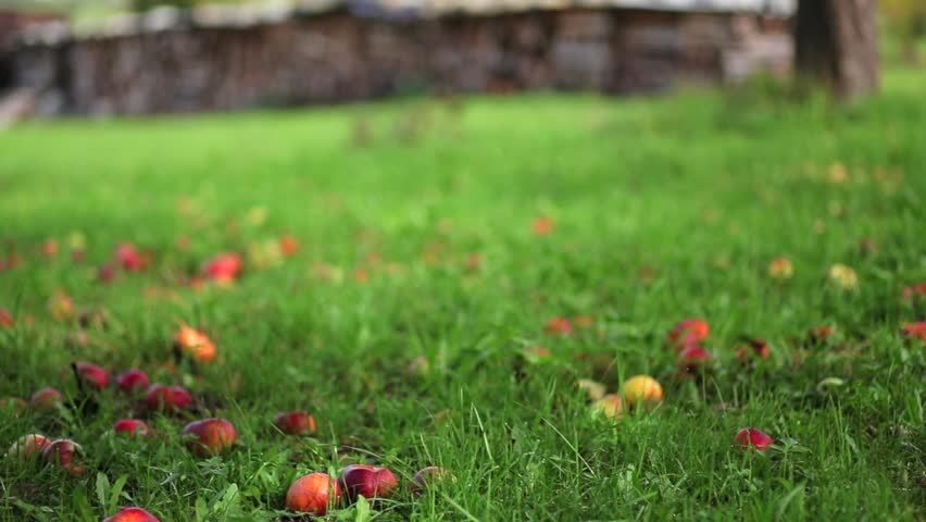 Apples on a green meadow