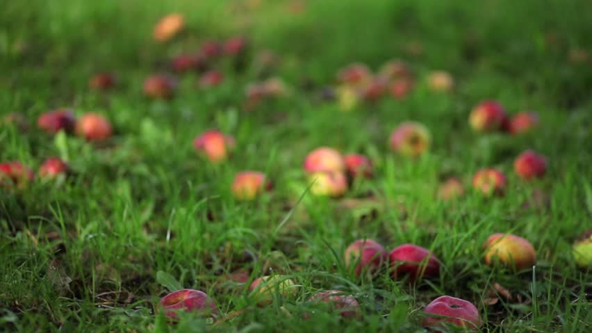 Apple fruits on a meadow