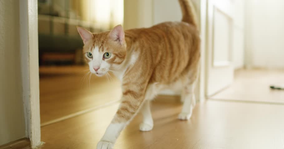 Yellow cat walks to camera in house corridor.  Ultra slow motion.