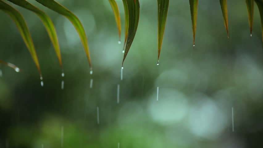 Tropical Rainfall. shallow focus on leafs with sound