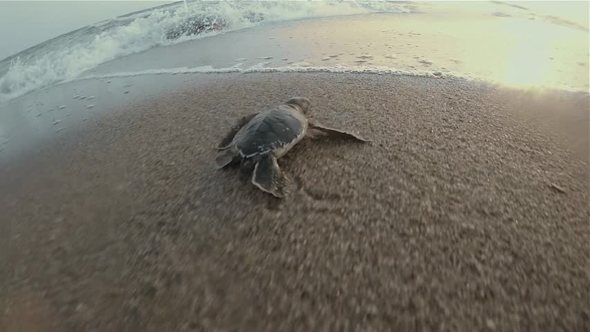 Baby sea turtles are trying to reach to the sea after they hatch from their nests. They first had a long run on the sand and meet the waves into the sea or ocean.