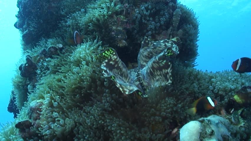Anemonefish in anemone   Shutterstock HD Video #32577175