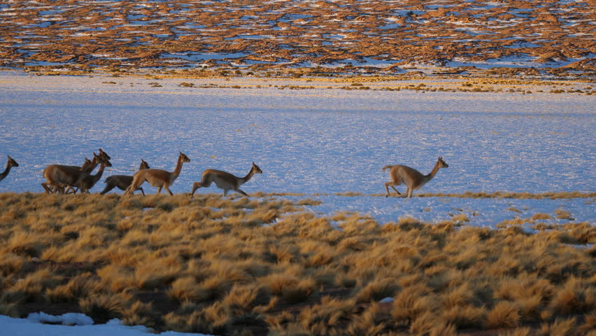Vicuna run through snowy field in Andes