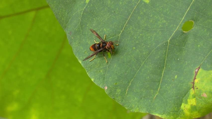 Header of Hymenoptera