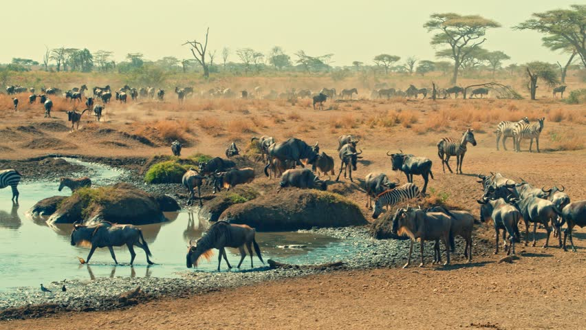 Cinematic shot of Great Migration of zebra and wildebeest by water well, drinking on a bright, hot, sunny day in colorful, dry savanna plains of Serengeti national park in Tanzania, Africa.