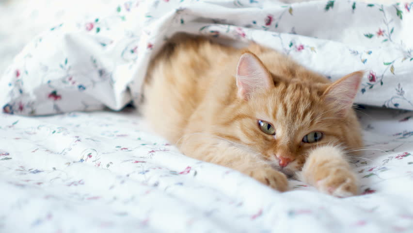 Cute ginger cat lying in bed. Fluffy pet comfortably settled to sleep under blanket. Cozy home background with funny pet. | Shutterstock HD Video #32669290