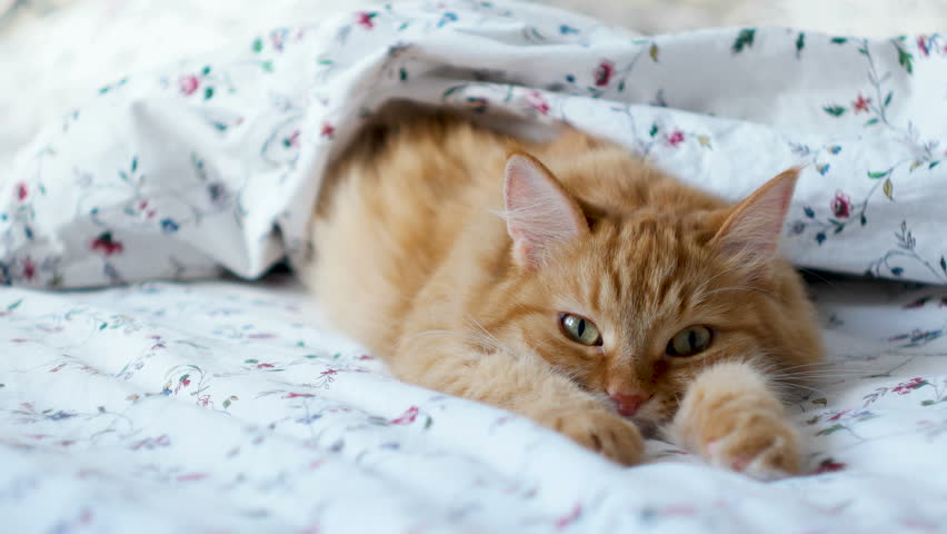 Cute ginger cat lying in bed. Fluffy pet comfortably settled to sleep under blanket. Cozy home background with funny pet. | Shutterstock HD Video #32669296