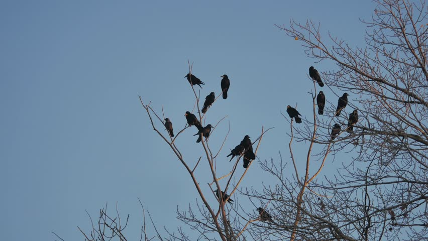 Flock of raven birds sitting on tree autumn dry branches of trees. crows birds flock   Shutterstock HD Video #32672881