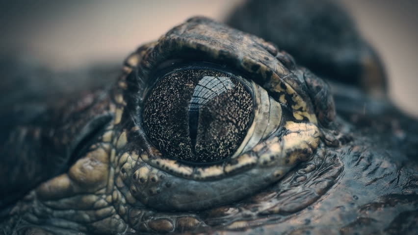 Crocodile closes and opens the eyes closeup