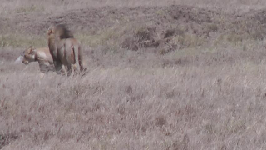 Mating lion | Shutterstock HD Video #3275528
