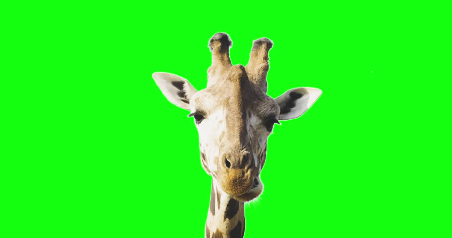Green screen close up shot of a giraffe looking to the camera while eating. | Shutterstock HD Video #32758363